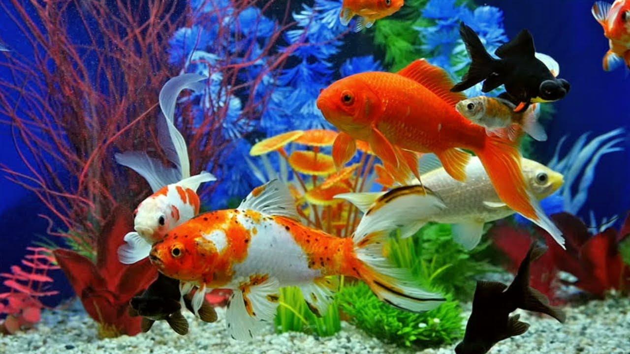 Ini Manfaat Memelihara Ikan Hias bagi Kesehatan Mental